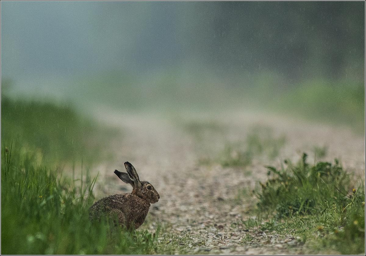 Halljänes, Lepus europaeus, Brown Hare