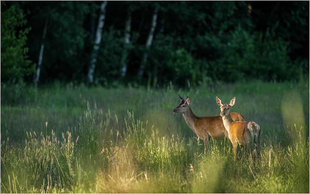 Punahirv, Cervus elaphus, Red Deer