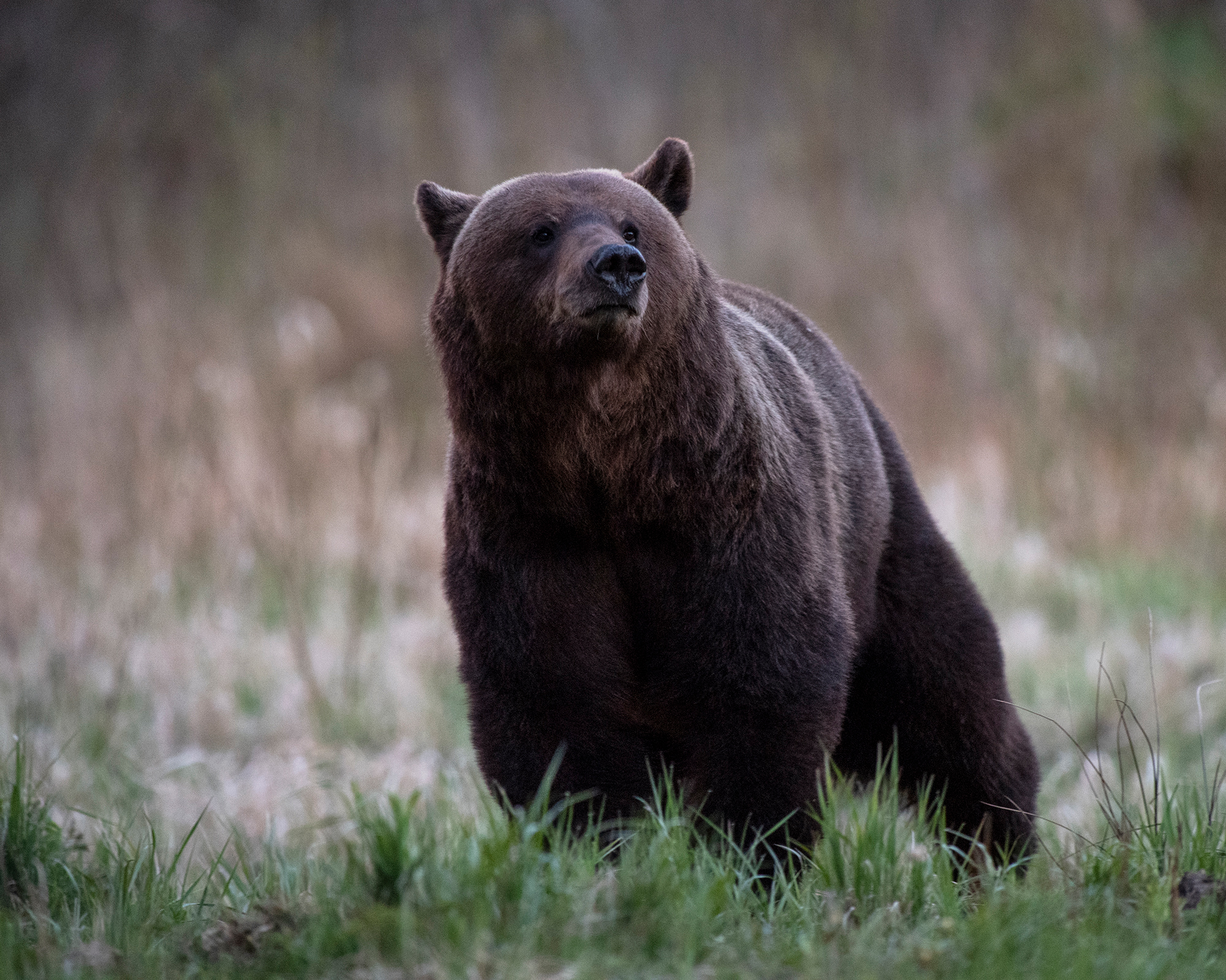 Pruunkaru, Ursus arctos, Brown Bear