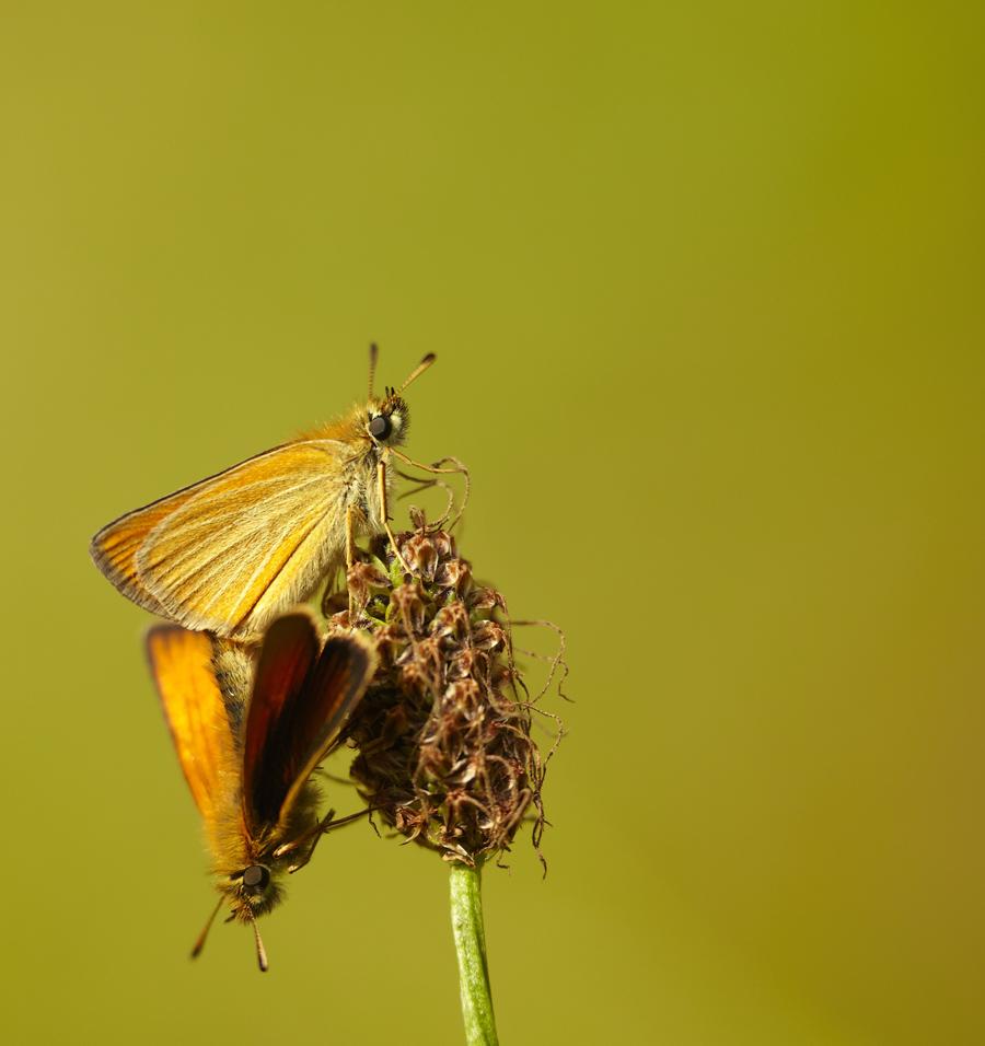 Harilik viirgpunnpea, Thymelicus lineola, Essex Skipper