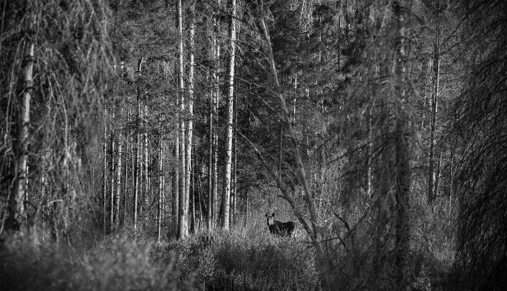 Põder, Alces alces, Moose