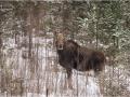 Põder, Alces alces, Moose, Elk