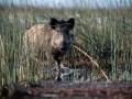 Metssiga, Sus scrofa, Wild boar