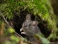 Koduhiir, Mus musculus, House mouse