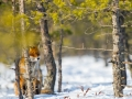 Tartumaa, Ilmatsalu  Rebane, Vulpes vulpes, Red Fox