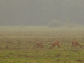 Metskits, Capreolus capreolus, Roe Deer
