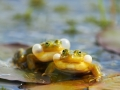 Veekonn, Rana esculenta, Waterfrog