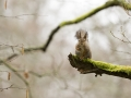 Orav, Sciurus vulgaris, Red squirrel