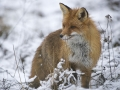 Rebane, Vulpes vulpes, Red Fox