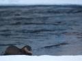 Saarmas, Lutra lutra, Otter