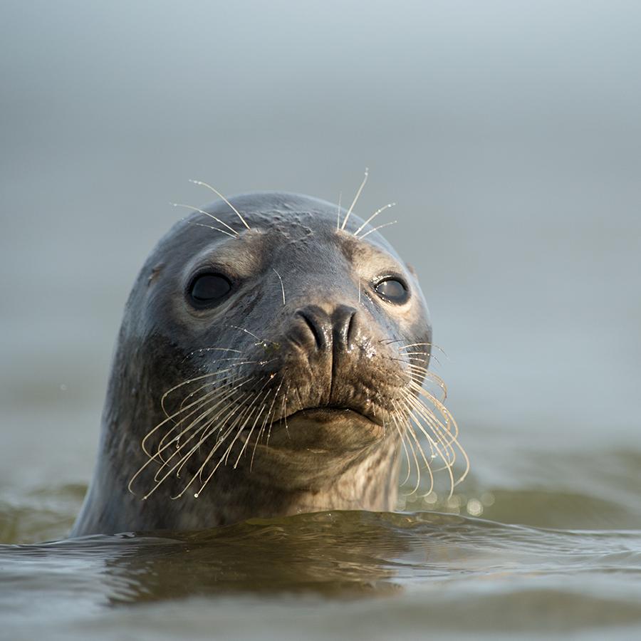 Hallhüljes, Halichoerus grypus, Grey Seal