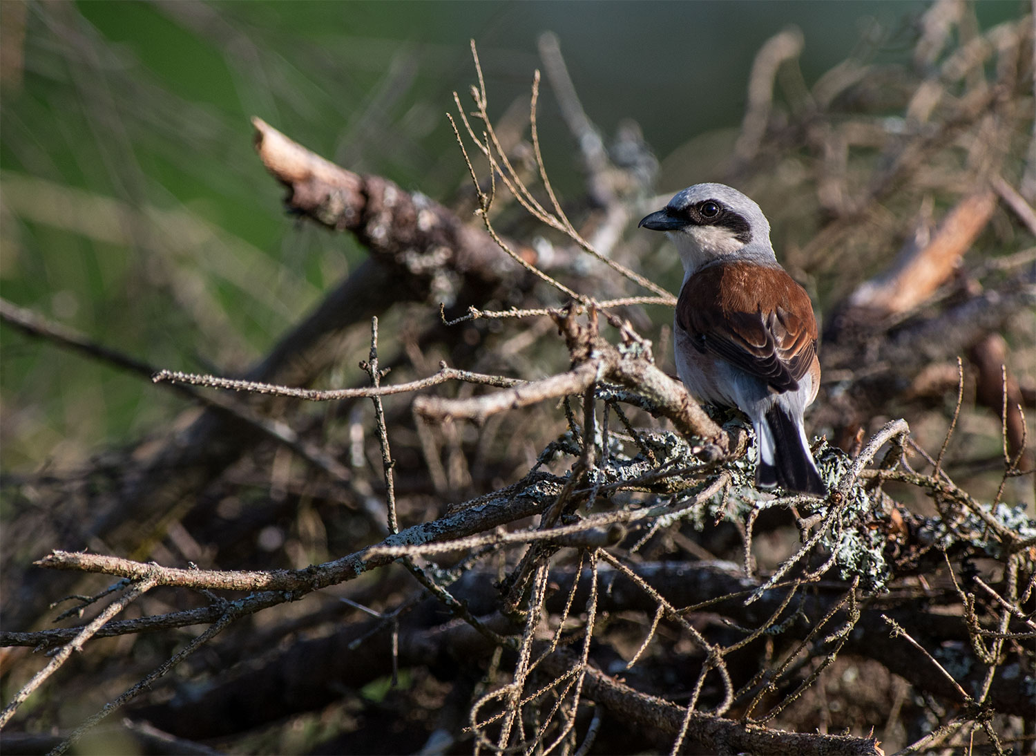 Punaselg-õgija, Lanius collurio, Red-backed Shrike