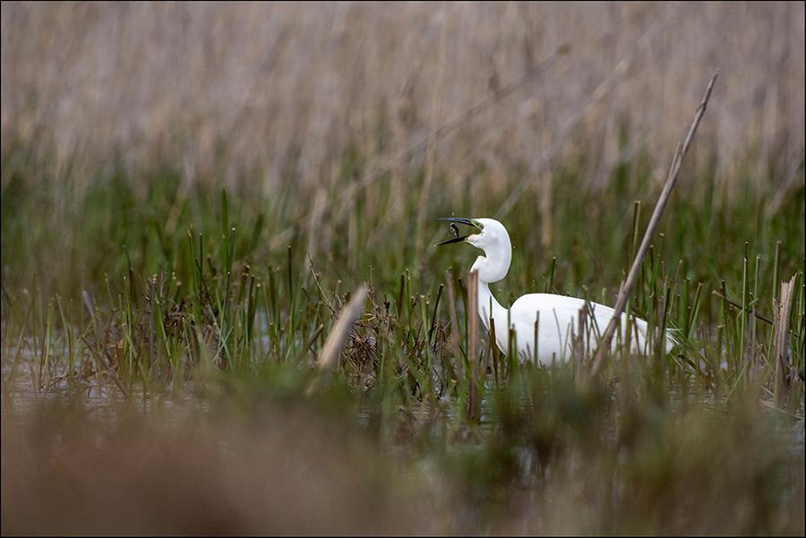 Hõbehaigur, Egretta alba, Great White Egret