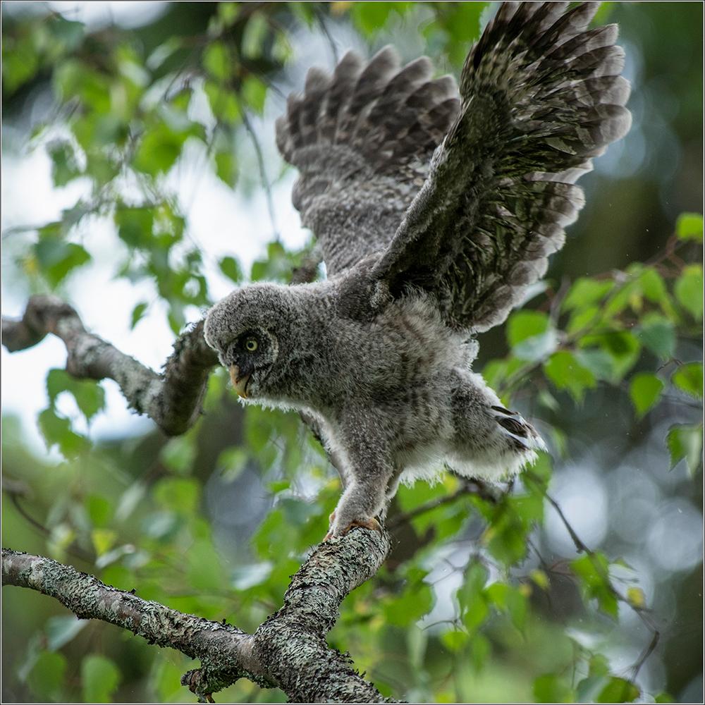 Habekakk, Strix nebulosa, Great Grey Owl