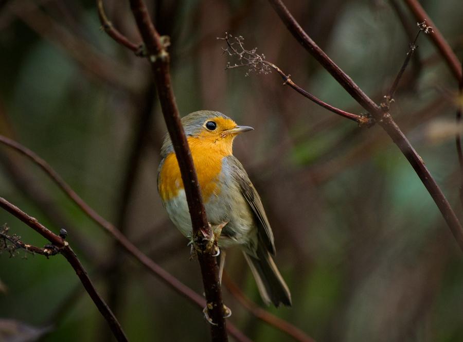 Punarind, Erithacus rubecula, European Robin