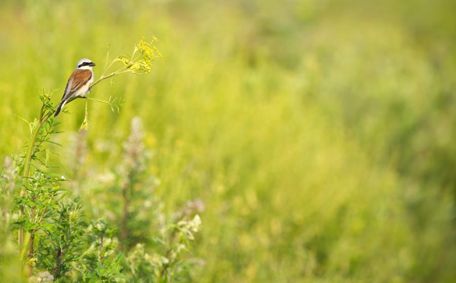 Punaselg-õgija, Lanius collurio, Red-backed Shrike