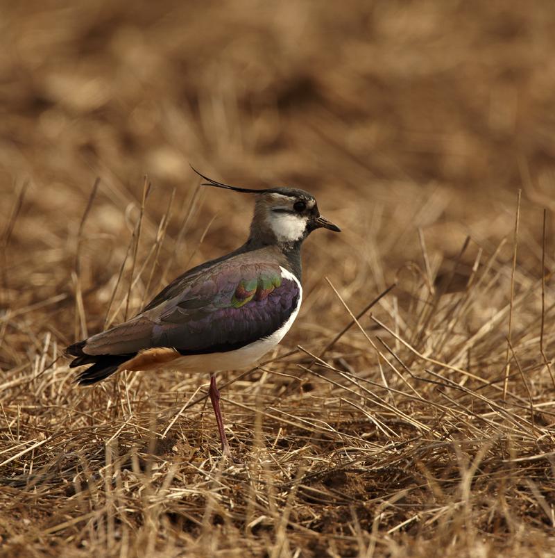 Kiivitaja, Vanellus vanellus, Lapwing