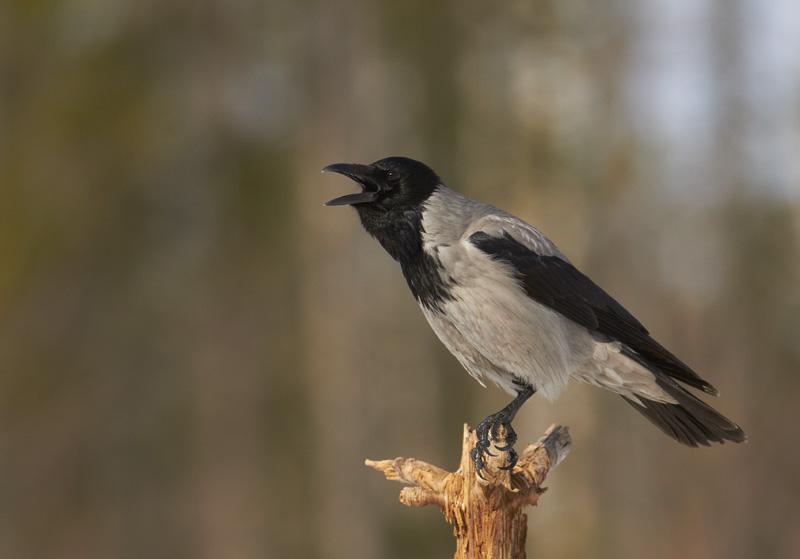 Hallvares, Corvus cornix, Carrion Crow
