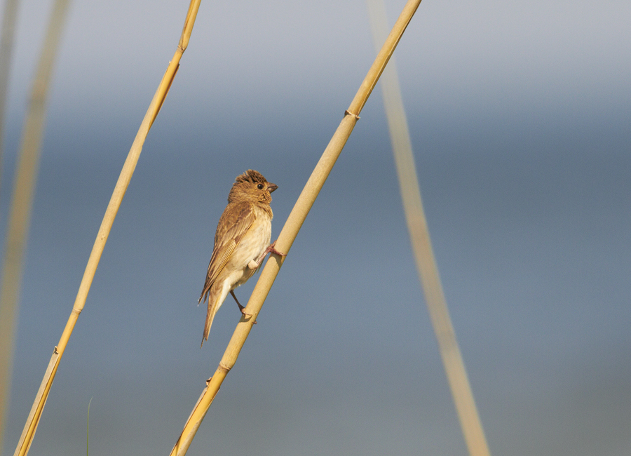 Karmiinleevike, Carpodacus erythrinus, Common Rosefinch