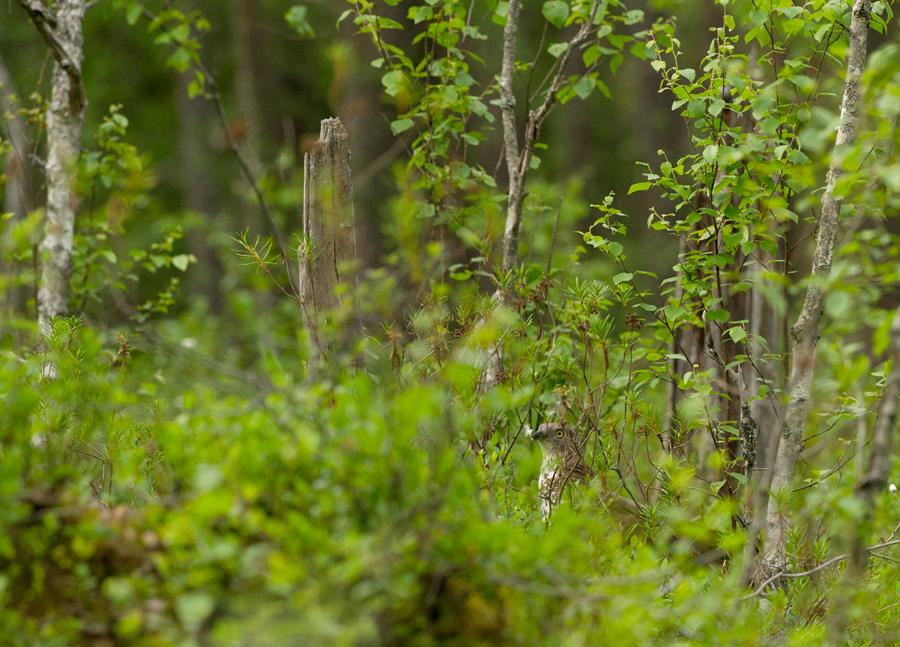 Herilaseviu, Peris apivorus, Honey-Buzzard