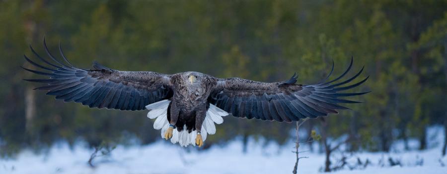 Tartumaa, Ilmatsalu Merikotkas, Haliaeetus albicilla, White-tailed Eagle