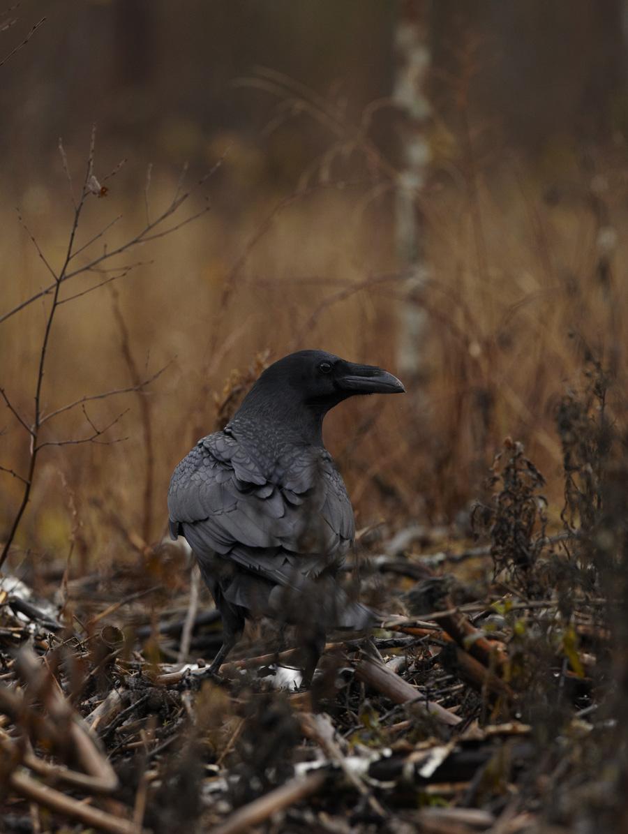 Kaaren, Corvus corvax, Raven