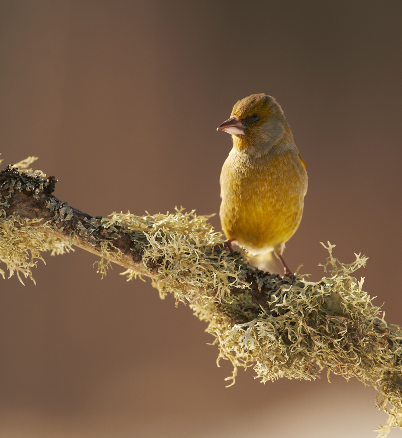 Rohevint, Carduelis chloris, Greenfinch
