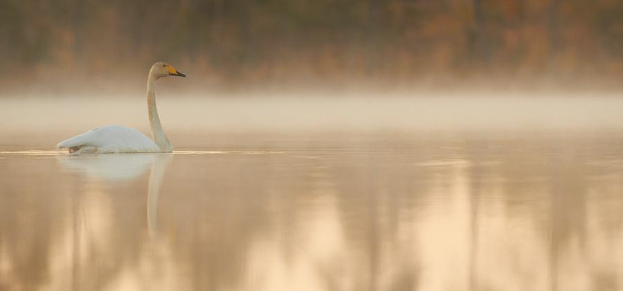 Laululuik, Cygnus cygnus, Whooper Swan
