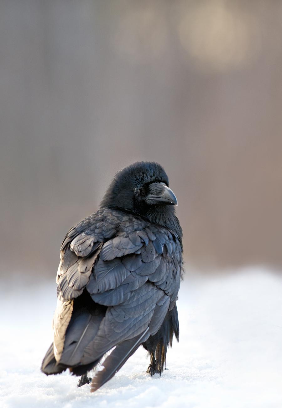 Ronk, Gorvus corax, Raven