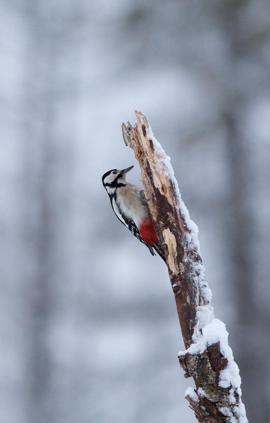 Suur-kirjurähn, Dendrocopos major, Great Spotted Woodpecker