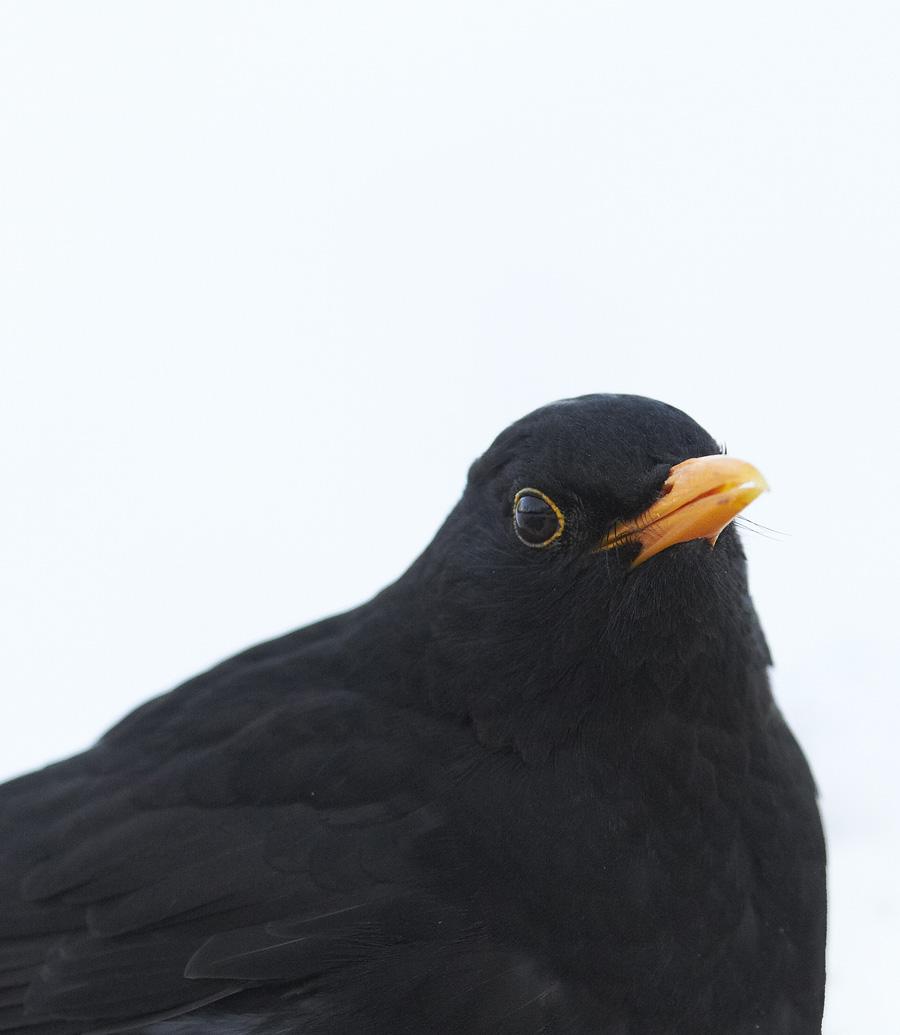 Musträstas, Turdus merula, Blackbird