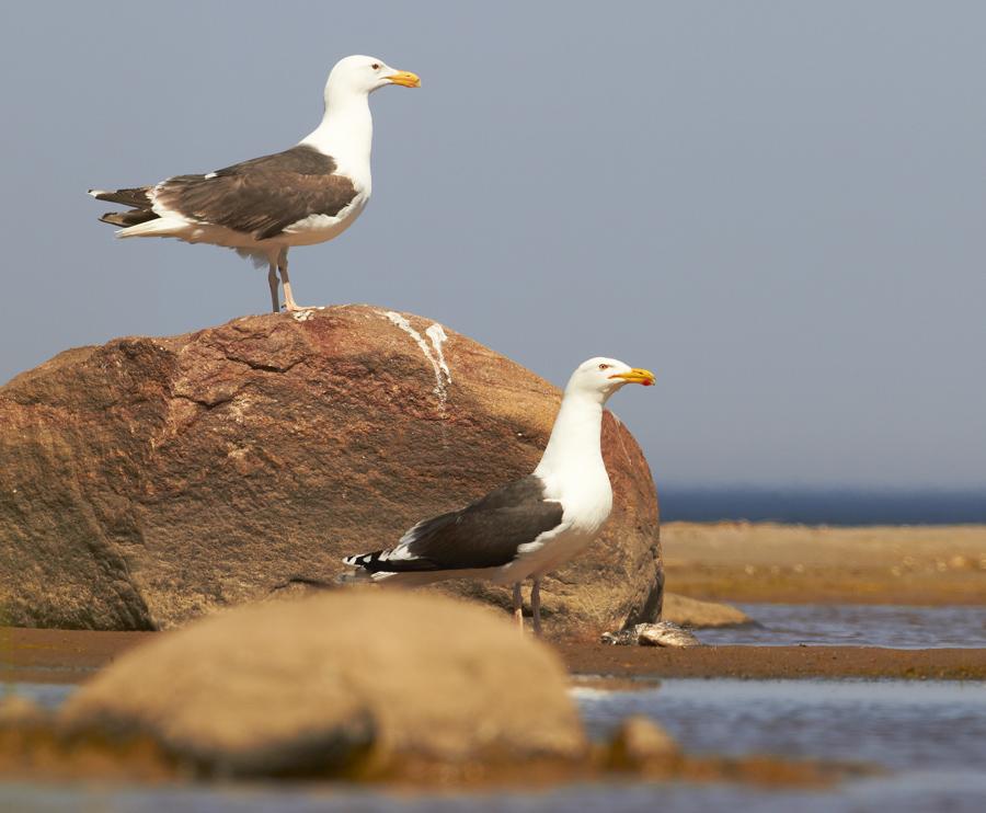 Merikajakas, Larus marinus, Great Black-backed Gull