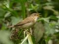 Soo-roolind, Acrocephalus palustris, Marsh Warbler