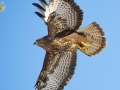 Hiireviu, Buteo buteo, Common Buzzard