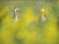 Hallhani, Anser anser, Greylag Goose