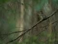 Hoburästas, Turdus viscivorus, Mistle Thrush