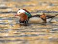 Mandariinpart, Aix galericulata, Mandarin duck