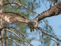Habekakk, Strix nebulosa, Great Grey Owl