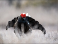 Teder, Tetrao tetrix, Black Grouse