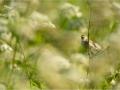Aedroolind, Acrocephalusdumetorum, Blythreedwarbler