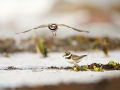 Liivatüll, Charadrius hiaticula, Ringed Plover