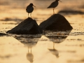 Punajalg-tilder, Tringa totanus, Redshank
