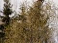 Väike-konnakotkas, Aquila pomarina, Lesser Spotted Eagle