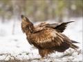 Merikotkas, Haliaeetus albicilla, White-tailed Eagle