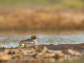 Piilpart, Anas crecca, Common Teal