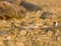 Plüü, Pluvialis squatarola, Grey Plover