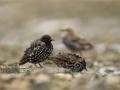 Kuldnokk, Sturnus vulgaris, Starling