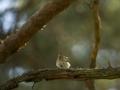 Metskiur, Anthus trivialis, Tree Pipit