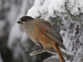Laanenäär, Perisoreus infaustus, Siberian Jay