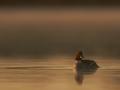 Sõtkas, Bucephala clangula, Goldeneye